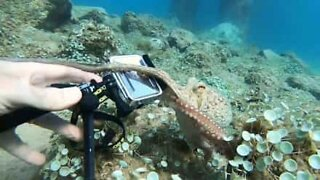 Octopus nabs diver's camera