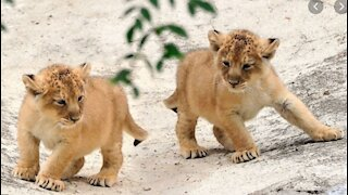 Adorable 6 lion cubs playing around
