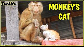 A monkey that owns a cat
