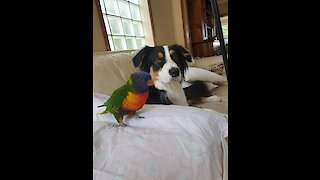 Parrot & doggy take turns playing fetch with their owner