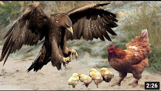 A mother sacrifices herself to save the chicks from attacking the eagle