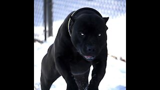 Top Most Aggressive Guard Dogs in the World