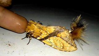 Stunning Moth Looks Like Scorpion As It Uses Hairy Tail Is A Sting