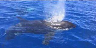 Orcas play with a rare ocean sunfish