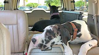 Great Danes love people watching during car ride
