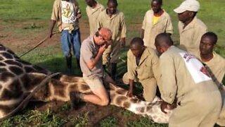 Rescue team saves giraffe with wire strung around the neck