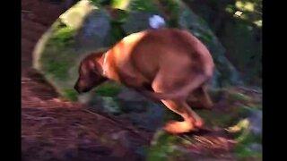 Mister Brown The Rhodesian Ridgeback; Not a Kangaroo, just growing legs
