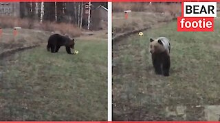 Dad films wild bear playing with son's football