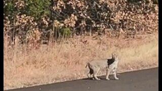 Wild Bobcat Walks In Front of ME!!!