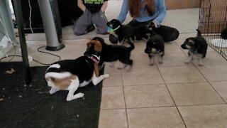 German Shepherd puppies gang up on playful doggy