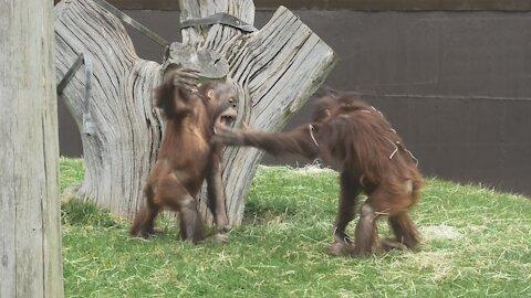 Funny baby orangutans hilariously slap each other