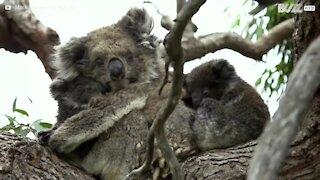 Raro filmato di koala gemelli