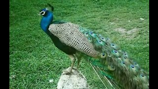 Peacock dance and peacock sound