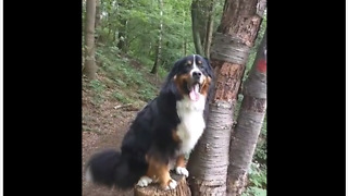 Bernese Mountain Dog thinks he's a model