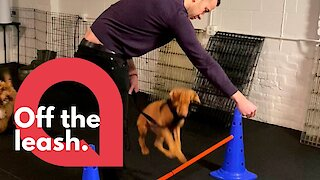 Dog hilariously tries and fails to jump over obstacle at puppy training class