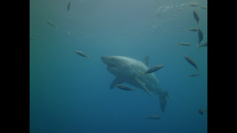 """The famous great white shark """"Lucy"""""""