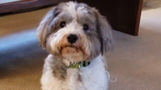 Incredibly adorable puppy silently begs for owner's attention