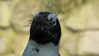 Penguin works vigorously to provide nesting material