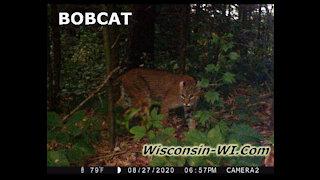Bobcat VIDEO Wisconsin Summer & Winter Trail Camera Videos - Landman Realty LLC