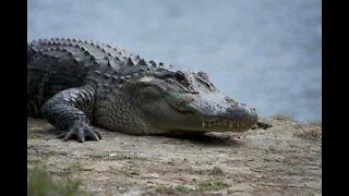 Che faresti se trovassi un coccodrillo fuori la porta di casa?
