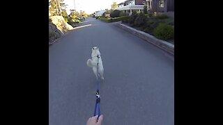 Athletic dog pulls owner on skateboard for walk time