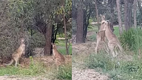 Guy Records Ridiculous Kangaroo Brawl With Hilarious Commentary