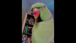 Indian Ringneck talking parrot
