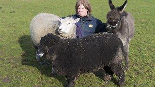 Bleeting cute! Orphaned miniature donkey thinks she's a sheep