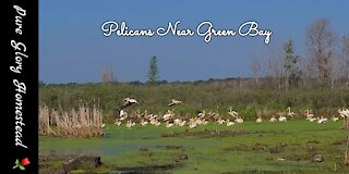 American White Pelicans in Wisconsin