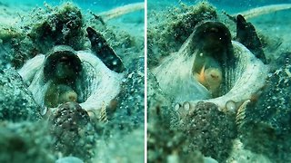 Unique footage captures moment octopus ejects sand from it's siphon