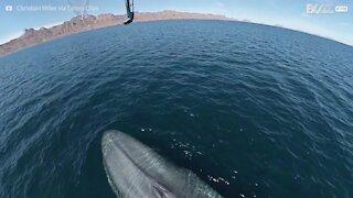 Une baleine bleue asperge un drone !