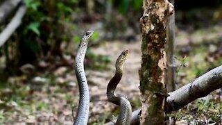 You Ever Seen Snake Couple Dance