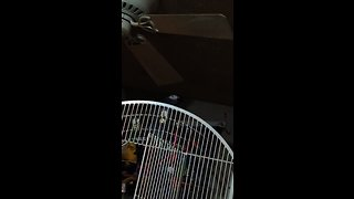 Parrot taunts cat by repeatedly calling its name
