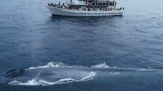 Drone Footage Shows Massive Whale Larger Than This 90 Foot Boat