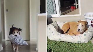 Clever dog drags bed outside to chill in the sun