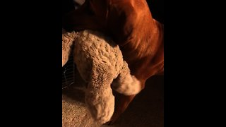Precious pup takes his favorite toy to bed