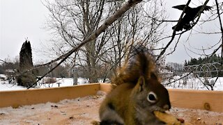 """Talking crow greets squirrel with a friendly """"hello"""" at bird feeder"""