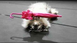 Akrobatisk hund gjør triks med paraply