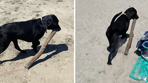 Dog finds enormous stick to carry at the beach