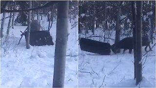 'Thrill-Seeking' Buck Gets Antlers Caught in Toboggan