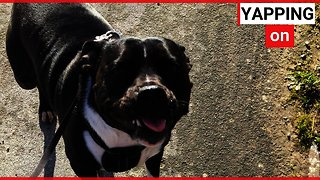 Meet the clever Staffy dog who can say HELLO