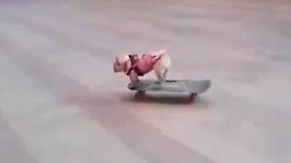 A dog on a skateboard. Very funny!