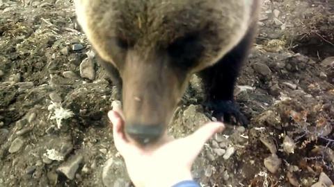 Russian workers hand-feed friendly wild bear
