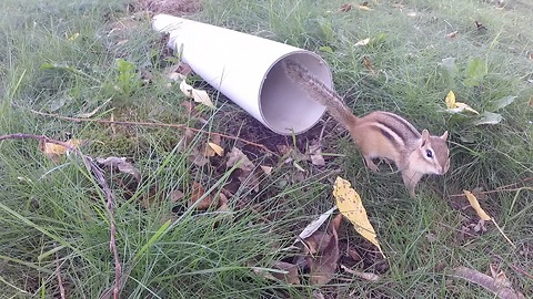 Chipmunk finds refuge in drain pipe from circling hawk