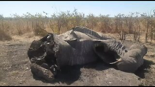 Elephant poaching has increased in the Kruger National Park: SANParks (zb6)