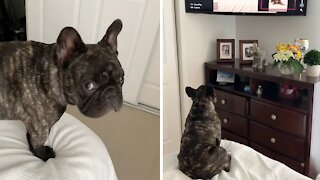 Nothing can separate this Frenchie from his favorite TV show