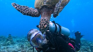 """Jealous sea turtle chases smaller turtle away from """"his scuba diver"""""""