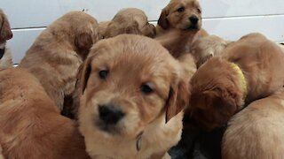 Adorable newborn puppies climb all over each other at nap time