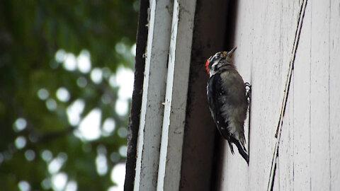 Mad-looking Downy Woodpecker