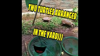 TWO TURTLES ARRANGED IN THE YARD